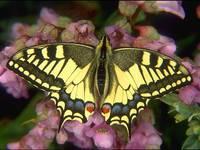 Schmetterling fuchsauge